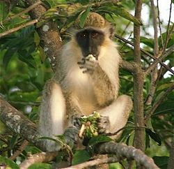 Barbados _Attractions_sightseeing_monkey