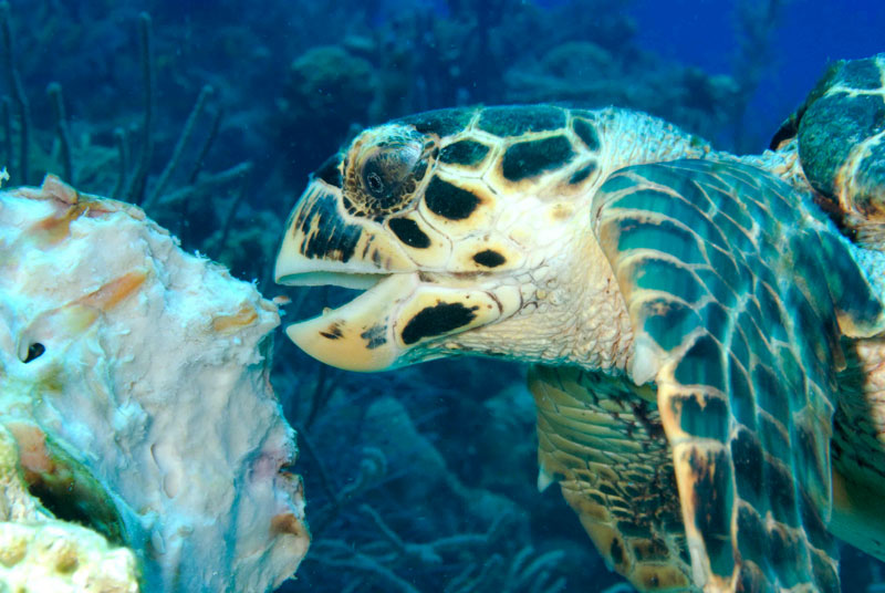 cayman-diving-green-turtle-eating